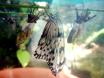 植物園ゴマダラ蝶羽化
