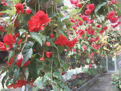 植物園ベゴニアロード
