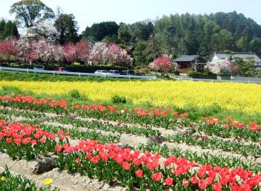 庄助村菜の花チチューリップ