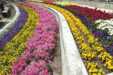 植物園プリムラ花壇