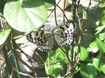 植物園ゴマダラ蝶
