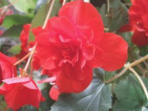 植物園ベゴニア赤