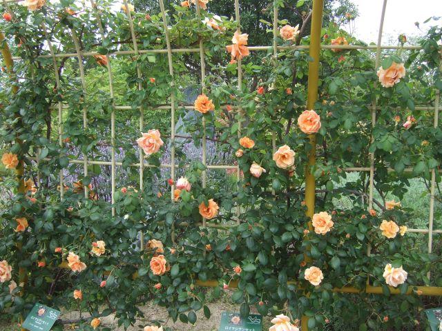 バラオレンジピンク_640
