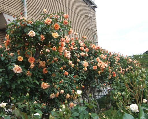 オレンジツルバラ_512