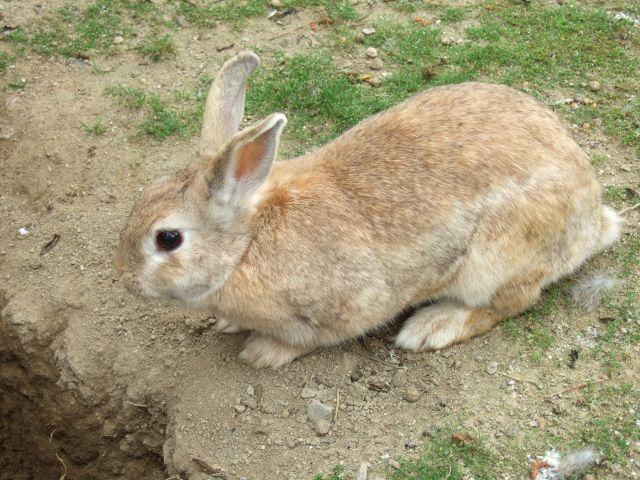 ウサギ_640