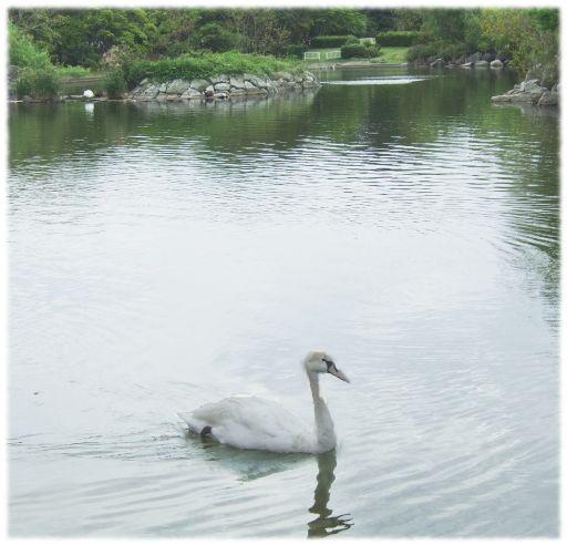白鳥_512