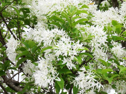 響灘白い花_512