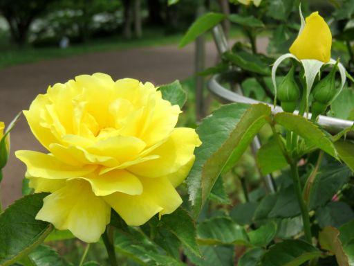 駕与丁公園バラ黄色_512