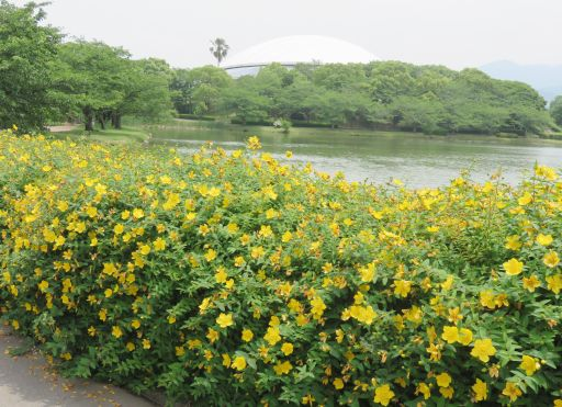 駕与丁公園黄花植え込み_512