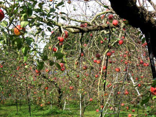 りんご園_512