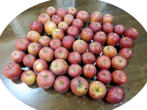 りんご園収穫_512